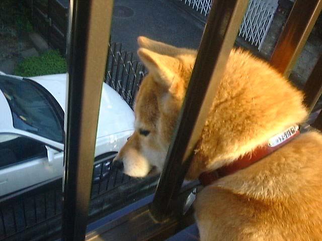 物見高いムギ: SHIBA DOG